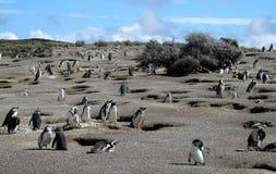 Colonia de los pingüinos de Magellan Fotografía de archivo