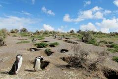 Colonia de los pingüinos de Magellan Imagen de archivo