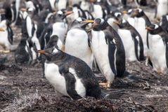 Colonia de pingüino de Gentoo - Falkland Islands Imágenes de archivo libres de regalías
