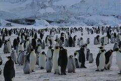 Colonia de pingüinos de emperador Imágenes de archivo libres de regalías