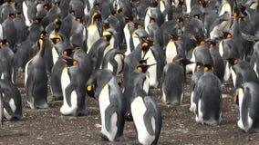 Colonia de pingüinos de rey almacen de metraje de vídeo