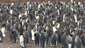 Colonia de pingüinos de rey almacen de video