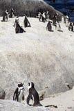 Colonia de pingüinos en peligro del cabo Imagen de archivo