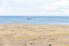 Colonia de pingüinos magellanic en la isla de Magdalena, Estrecho de Magallanes, Chile fotografía de archivo