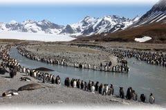 Colonia de pingüinos de rey Imagenes de archivo