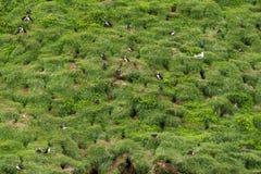Colonia de pájaros del frailecillo Imagen de archivo libre de regalías