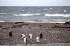 Colonia de rey Penguin en la bahía de Inutil en Tierra del Fuego, Chile imagen de archivo
