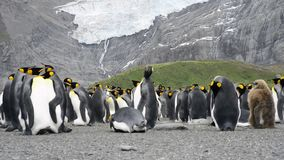Colonia de rey Penguins almacen de video