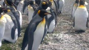 Colonia de rey Penguins en el punto voluntario metrajes
