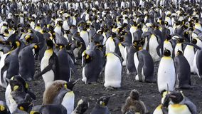 Colonia de rey Penguins en la playa metrajes