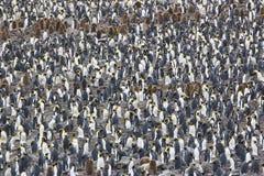 Colonia de rey pingüino Imagen de archivo libre de regalías
