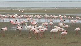 Colonia de Rosy Flamingo del pájaro en la bahía de Walvis, fauna de Namibia, África metrajes