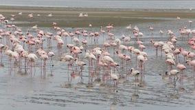 Colonia de Rosy Flamingo del pájaro en la bahía de Walvis, fauna de Namibia, África almacen de metraje de vídeo