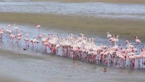 Colonia de Rosy Flamingo del pájaro en la bahía de Walvis, fauna de Namibia, África almacen de video