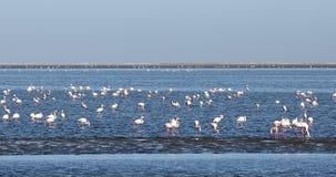 Colonia de Rosy Flamingo en la bahía fauna de Namibia, África de Walvis almacen de metraje de vídeo