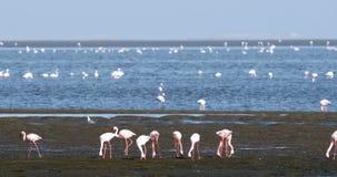 Colonia de Rosy Flamingo en la bahía fauna de Namibia, África de Walvis metrajes