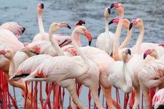 Colonia de Rosy Flamingo en la bahía Namibia de Walvis Foto de archivo libre de regalías