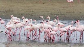 Colonia de Rosy Flamingo en la bahía Namibia de Walvis almacen de metraje de vídeo