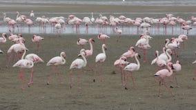 Colonia de Rosy Flamingo en la bahía Namibia de Walvis metrajes