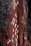 Colonia de termitas que destruyen la madera Foto de archivo libre de regalías