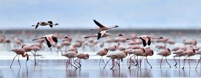 Colonia dei fenicotteri sul lago Natron immagini stock libere da diritti