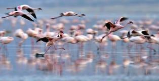 Colonia dei fenicotteri sul lago Natron fotografia stock