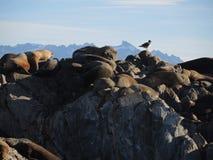Colonia dei leoni marini patagonian Fotografia Stock Libera da Diritti