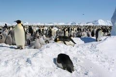 Colonia dei pinguini dell'imperatore Immagini Stock