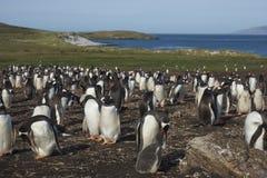 Colonia dei pinguini di Gentoo sull'isola della carcassa Immagine Stock