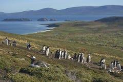 Colonia dei pinguini di Gentoo sull'isola della carcassa Fotografia Stock Libera da Diritti