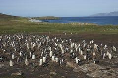 Colonia dei pinguini di Gentoo sull'isola della carcassa Fotografia Stock