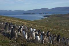 Colonia dei pinguini di Gentoo sull'isola della carcassa Immagini Stock