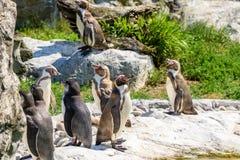 Colonia dei pinguini di Magellanic immagini stock libere da diritti