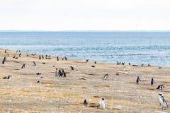 Colonia dei pinguini magellanic sull'isola di Magdalena, stretto di Magellan, Cile fotografia stock libera da diritti