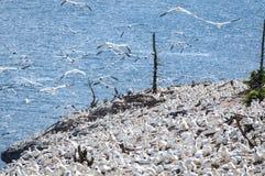 Colonia del ave marina de Gannets septentrional en Bonaventure Island en Quebec, Canadá imágenes de archivo libres de regalías