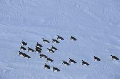 Colonia del estante de hielo de Riiser Larsen del mar de la Antártida Weddell de pingüino de emperador Imagen de archivo libre de regalías