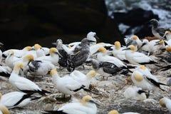 Colonia del gannet de Muriwai, Nueva Zelanda Millares de jerarquía del serrator del Morus de Gannets aquí de agosto a marzo cada  foto de archivo