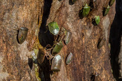 Colonia del insecto Foto de archivo