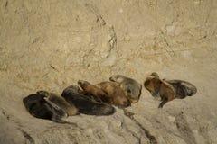 Colonia del leone marino nel Sudamerica Fotografia Stock