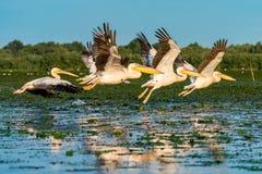 Colonia del pelícano que vuela sobre el agua en el delta Rumania de Danubio en el sunr fotos de archivo