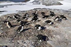 Colonia del pingüino de Adelie en una del día soleado Imagen de archivo libre de regalías