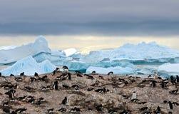 Colonia del pingüino de Gentoo, ant3artida Fotos de archivo