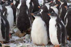 Colonia del pingüino de Gentoo de la guardería Foto de archivo libre de regalías