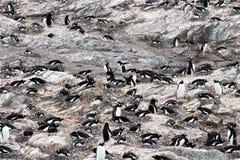 Colonia del pingüino de Gentoo en la península de la roca, la Antártida Imagenes de archivo