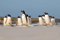 Colonia del pingüino de Gentoo que se coloca en las dunas de arena Imágenes de archivo libres de regalías