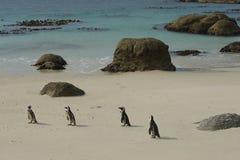 Colonia del pingüino de la playa de los cantos rodados Foto de archivo libre de regalías