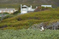 Colonia del pingüino de la playa de los cantos rodados Fotos de archivo