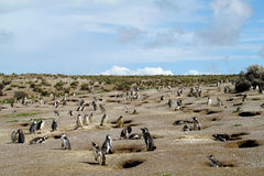 Colonia del pingüino de Magellanic Imagenes de archivo