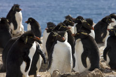 Colonia del pingüino de Rockhopper - Falkland Islands Imagen de archivo libre de regalías