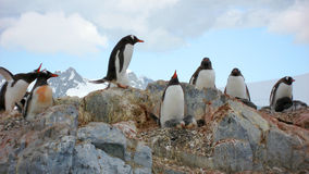 Colonia del pinguino di Gentoo Fotografie Stock
